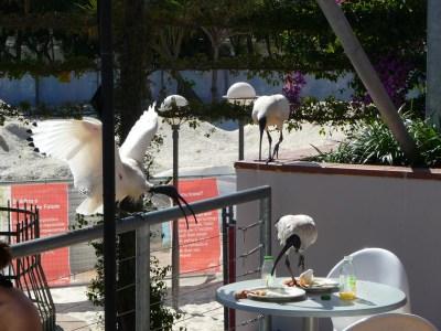 ibis attack